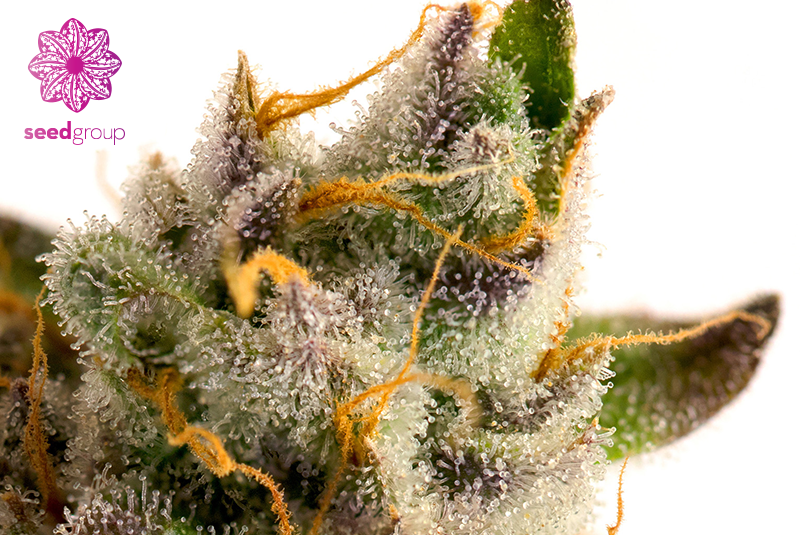 The Seed Group blog - Cannabis marketing seed group photography macro weed bud flower trichomes terpenes